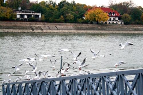 budapest-gulls